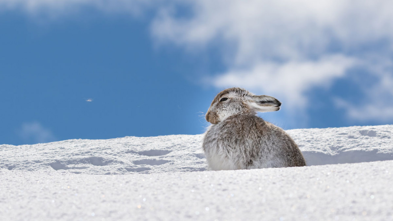 Mountain Hare in snow. Andy Howard