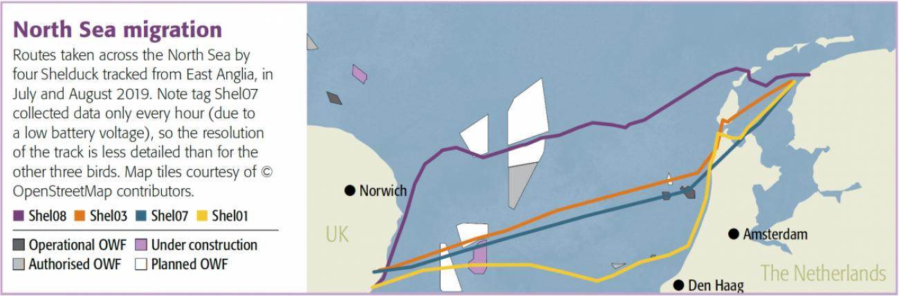 Shelduck North Sea migration routes