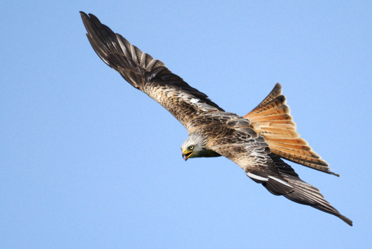 Red Kite. Amy Lewis.