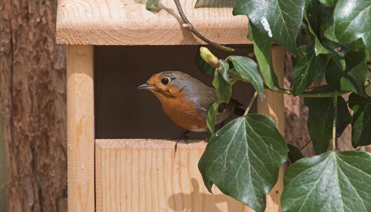 Robin. David Tipling
