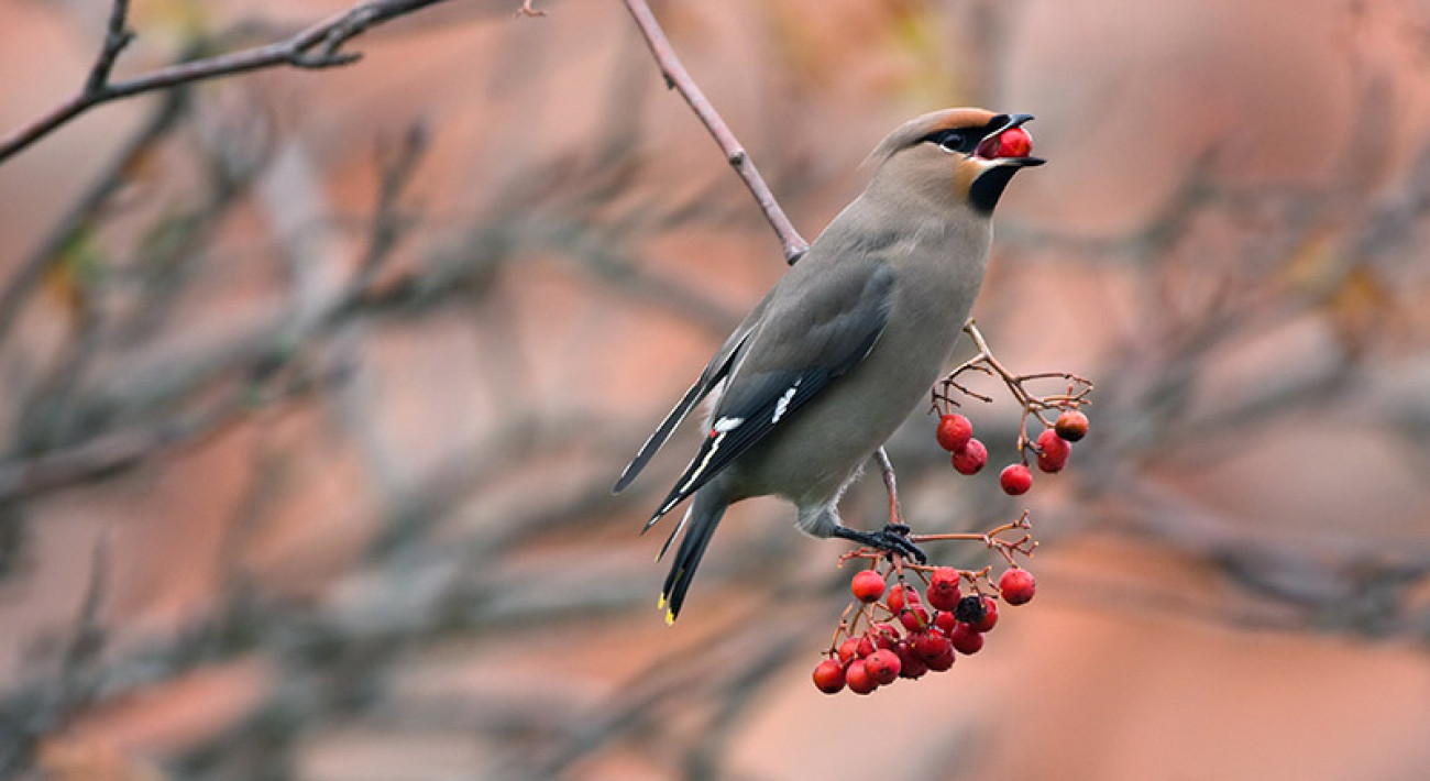 Waxwing. Chris Knights