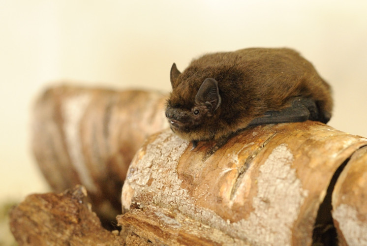 Common Pipistrelle by Amy Lewis