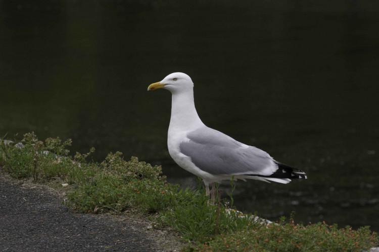 Herring Gull. John Harding