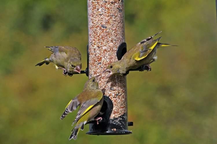 Greenfinches, by Jill Pakenham