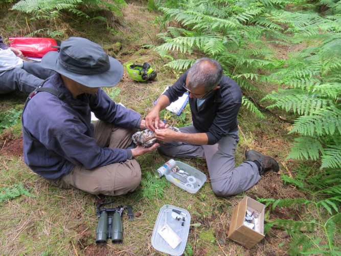Fitting a Goshawk with a GPS tracking device