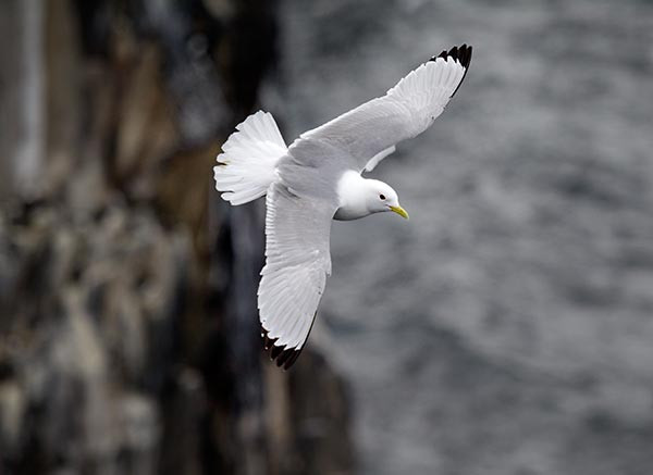 Kittiwake. Edmund Fellowes