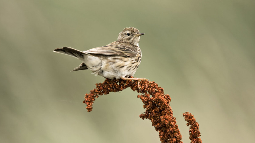 Meadow Pipit. Graham Clarke