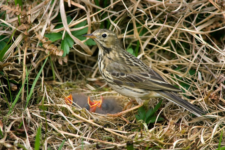 Meadow Pipit by Edmund Fellowes