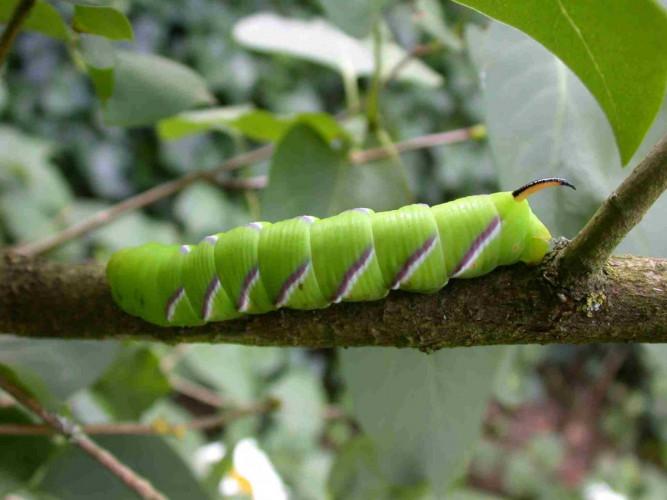 Privet Hawk Moth caterpillar, photograph by Mike Toms