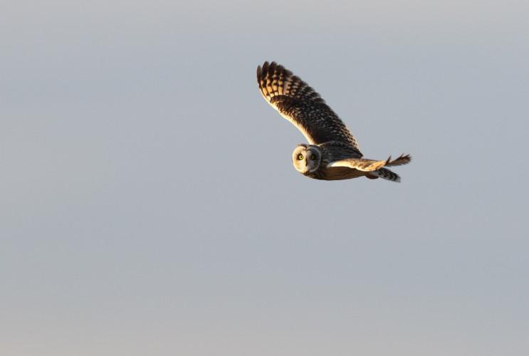 Short-eared Owl. Liz Cutting