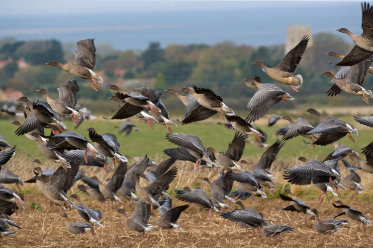 Pink-footed Goose flock, Chris Knights