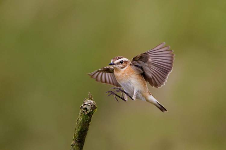 Whinchat, photograph by Edmund Fellowes