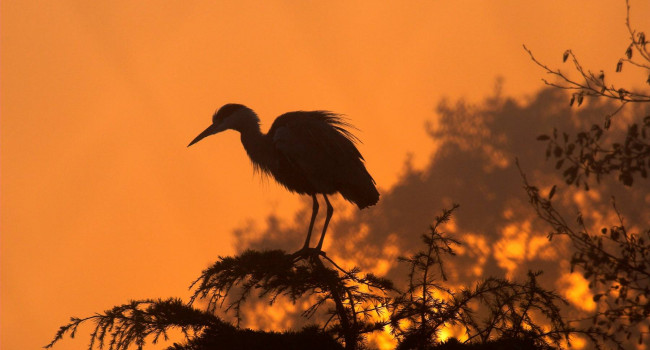 Grey Heron. Photograph by John Harding