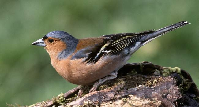 Chaffinch by Jill Pakenham