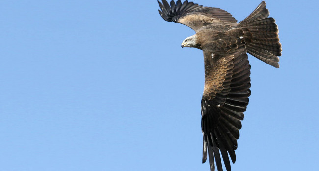 Black Kite. Jill Pakenham