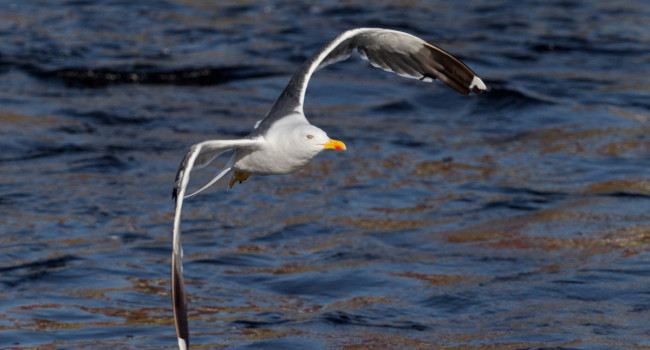 Lesser Black-backed Gull - Edmund Fellowes