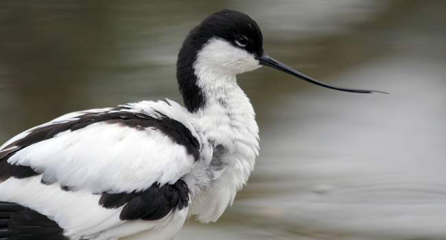 Avocet - Amy Lewis