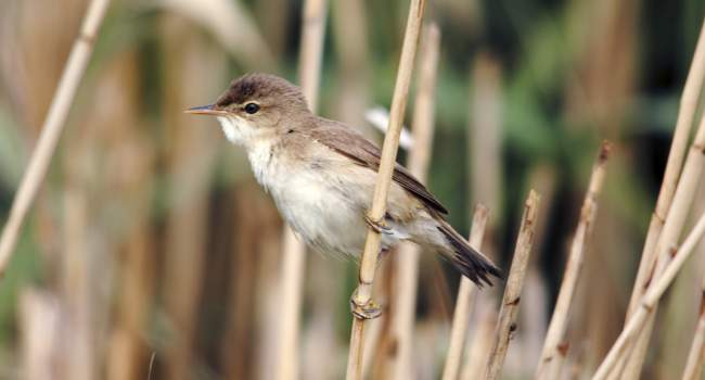Reed Warbler perching in reeds by Amy Lewis, BTO