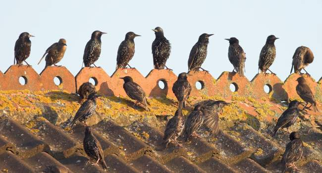 Starlings by Allan Drewitt