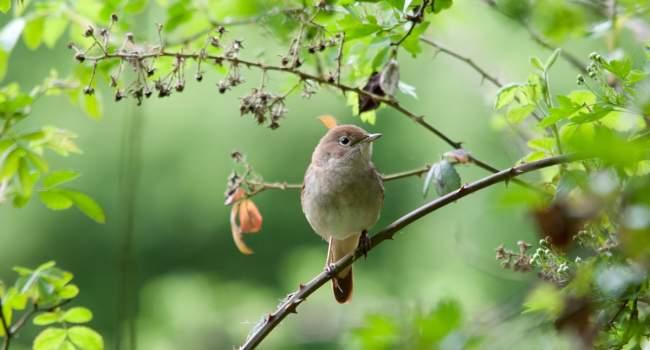 Nightingale - John Spaull