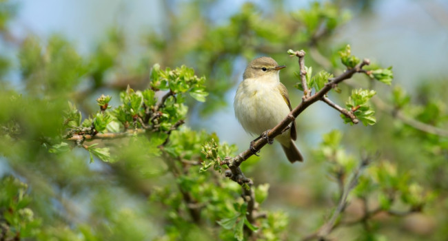 Chiffchaff by Paul Newton