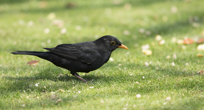 Blackbird. Photograph by Paul Newton