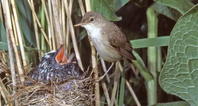 Cuckoo and Reed Warbler, by Moss Taylor