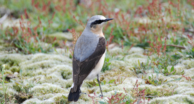 007605-northern_wheatear-moss_taylor.jpg