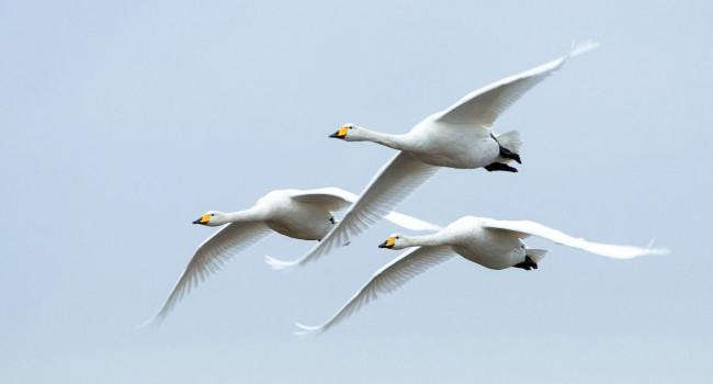 Whooper Swan. Sarah Kelman