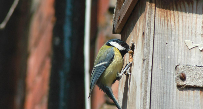 Great Tit with nest box. David Waistell