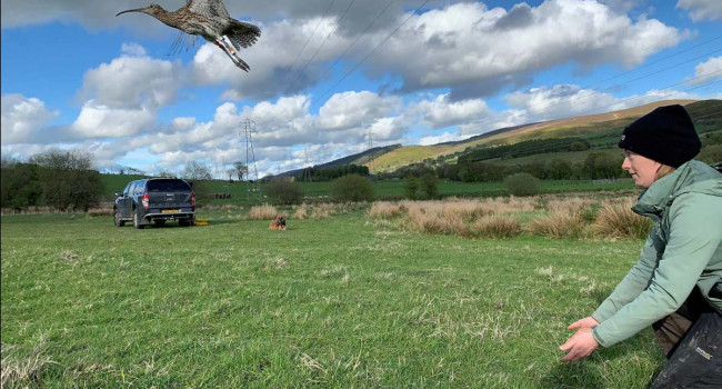 Curlew tagging in Wales. Rachel Taylor