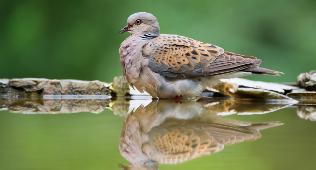Turtle Dove - mzphoto11 / stock.adobe.com