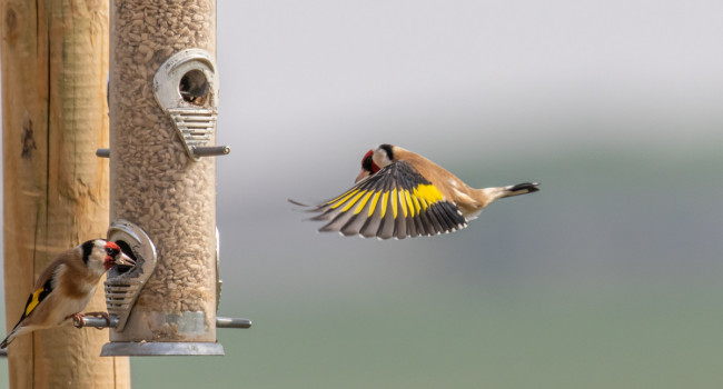 Goldfinch on feeder - Steven Whitcher / stock.adobe.com