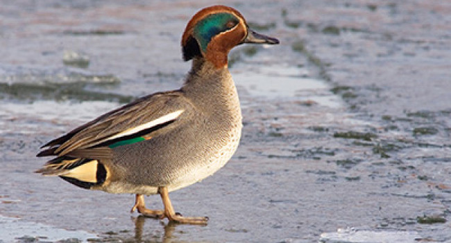 Teal. Photograph by Edmund Fellowes