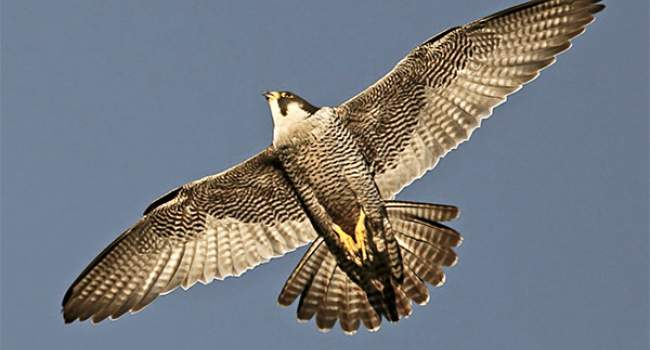 Peregrine. Photograph by Dennis Atherton