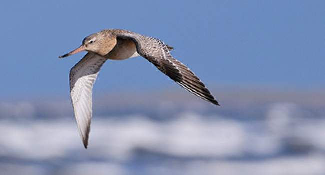 Bar-tailed Godwit. Photograph by Tom Wallis