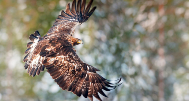 Golden Eagle. Photograph by Sarah Kelman