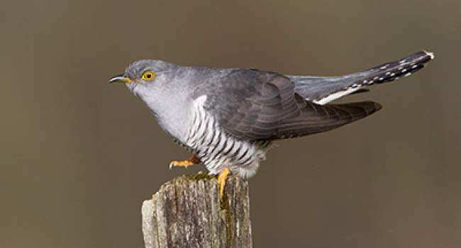 Cuckoo. Photograph by Edmund Fellowes