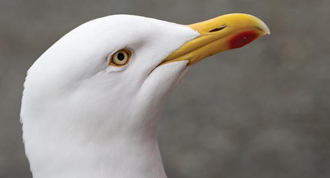 Herring Gull. Photograph by Edmund Fellowes