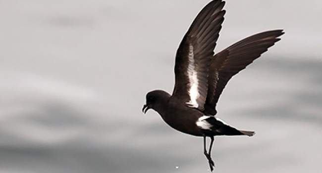 Storm Petrel. Photograph by Joe Pender