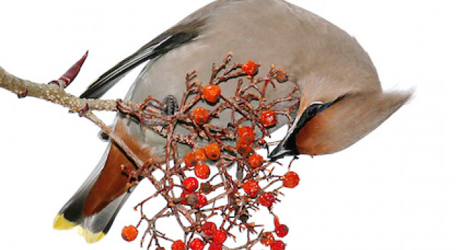 Waxwing. Photograph by John Harding