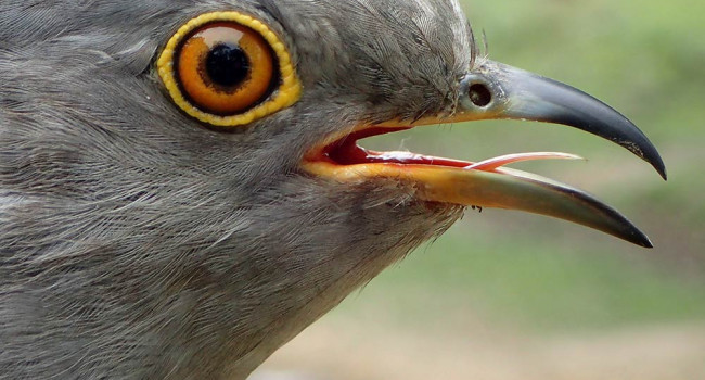 Nussey the Cuckoo