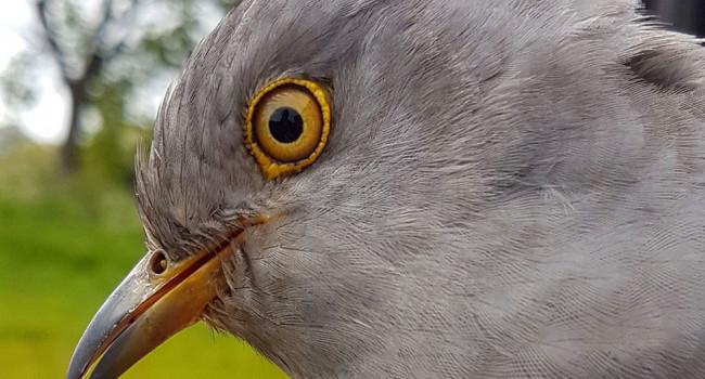 Harry the Cuckoo