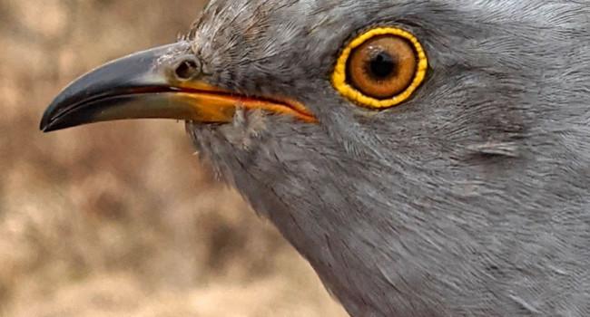 Columbus the Cuckoo