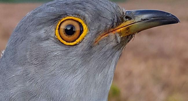 JAC the Cuckoo