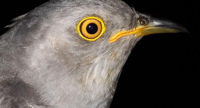 AJ the Cuckoo