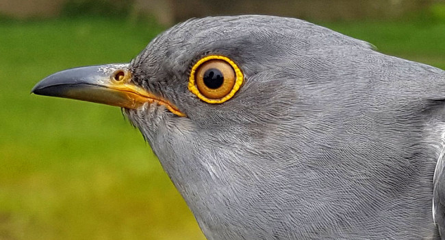 Clive the Cuckoo