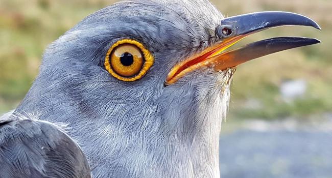 Daniel the Cuckoo