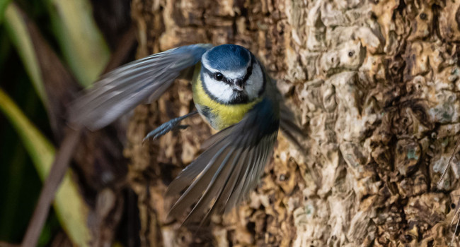 Blue Tit in flight. Philip Croft