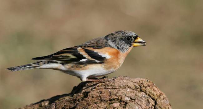 Brambling, photograph by Jill Pakenham